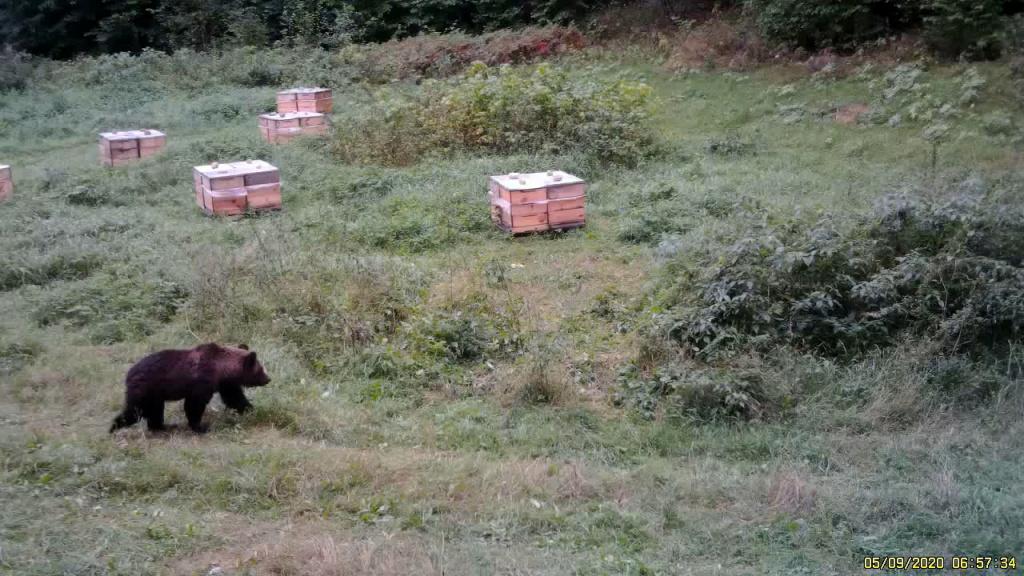 Медведь на пасеке под Березино_1-0-00-00-000.jpg